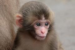Japanese macaque artis JN6A9697 (j.a.kok) Tags: artis macaque japanesemacaque makaak japansemakaak