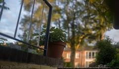 Cats & Roses (peterbastingsfotografie) Tags: spring katten outdoor thuis lente sittard summiluxm11450asph leicam9 peterbastings lente2016