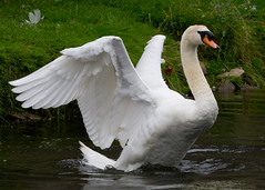 Adult Mute Swan (Mukumbura) Tags: swan flapping wings wingspan male adult muteswan cygnusolor displaying threat warning white feathers water reflection nature wildlife wildfowl britain cob wells somerset bird