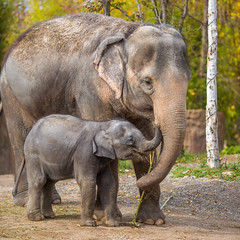 Motherhood (Thomas Hawk) Tags: usa baby elephant america zoo unitedstates fav50 unitedstatesofamerica stlouis mo missouri motherhood mothersday forestpark babyelephant fav10 fav25 fav100 saintlouiszoo