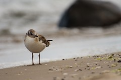 Dunlin (Kamil C.) Tags: bird shore sea beach k5ii dunlin animalplanet