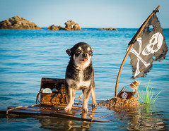 Captain Curtis arrival (StoryofLove Chihuahuas) Tags: dog doggie dogs dogie handsome pirate perrito puppi puppie puppy perro pet pets pupie cachorro playa beach beautiful blue sea ocean cute bonito chihuahua chihuahuas cool cahorrito barcelona