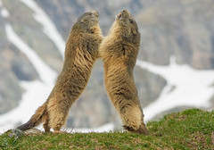 Sono più alta io! No io! (marypink) Tags: piemonte marmot mammalia rodentia marmotte sciuridae parconazionalegranparadiso ceresolereale marmotini valleorco xerinae nikkor80400mmf4556 nikond7200