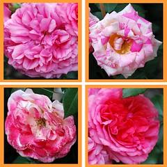 Der zu des Vaters Rechten sitzt (amras_de) Tags: flower fleur rose flor rosa roos blomma rosen gl blume fiore blte blomst rs rozen virg lore bloem blm iek floro roser kwiat flos ciuri kvet arrosa kukka rozes cvijet vrtnica flouer blth cvet zieds ruusut is trandafir floare rza rua rzsa blome rozo iedas roe rue rosslktet