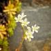 Spotted Saxifrage [Saxifraga bronchialis