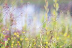bruinrode heidelibel. (look to see) Tags: summer dragonfly bokeh zomer 135mm vintagelens primotar bruinrodeheidelibellibel