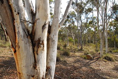 Cuumbeun Nature Reserve (Environment + Heritage NSW) Tags: tree forest bark naturereserve trunk drysclerophyll scribblygumtrees
