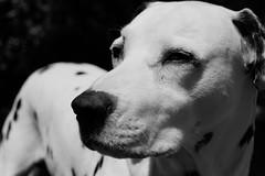 Kuzco (Alexis Foissy Photography) Tags: dog perro hund dalmatian dálmata dalmatiner dalmatien