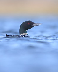 Great Northern diver (Mike Mckenzie8) Tags: blue wild lake bird canon gold iceland dof wildlife floating breeding loon plumage immer gavia