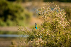 Solitude (malc1702) Tags: kingfisher birds colourfulbirds beauty grace nature outdoor trees stream nikond7100 tamron150600 wildlife smallbirds fantasticnature