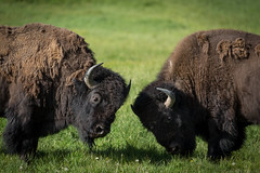 Bison Fighting (Alex E. Proimos) Tags: park usa america fight clash national yellowstone wyoming horn fighting bison
