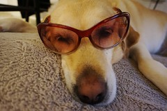 Relaxing (krystyna_piw) Tags: pink dog sunglasses yellow relax glasses labrador relaxing peaceful bella yellowlabrador pinkglasses labradorritriver