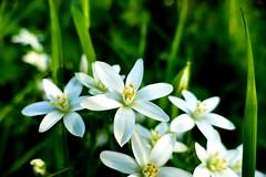 stars of Bethlehem (nelescholten) Tags: summer sunlight blur flower star evening bokeh starofbethlehem napatnoon