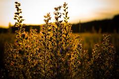 growen up (--Conrad-N--) Tags: light sunset summer plants field hair golden fine feld rims