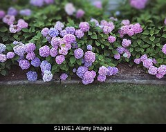 Uploaded to Stockimo (mlovette) Tags: flowers summer flower detail gardens garden spring bush gardening lawn hydrangea abundance hydrangeas stockimo