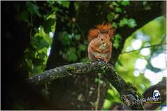 "Ecureuil du jardin ""2016"" (Christian Labeaune) Tags: 2016 ecureuil faune poils christianlabeaune chtillonnais jardin cureuil chatillonsurseine21400 bourgognectedor france"