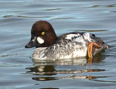 Goldeneye (Peanut1371) Tags: brown white water duck goldeneye nationalgeographicwildlife