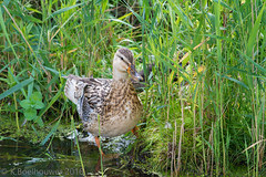 Eend 2.0 (Kevin Boelhouwer) Tags: bird nature water animal duck outdoor vogels eend vogel anminal