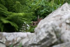 Hide and Seek (Ed Swift) Tags: lagomorph bunny lunga peekaboo hiding rabbit eye foliage 7d2 70200mmf28lisii fauna canon