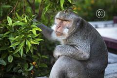 A monkey sits watching in Uluwatu. (wrightontheroad) Tags: animal monkey uluwatu uluwatutemple kutaselatan bali indonesia