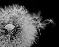 Dandelion (brennapear) Tags: macro weed seed dandelion wishes wish