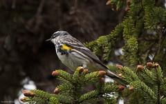 Yellow-rumped Warbler, Monchy Road (frank.king2014) Tags: ca canada gander yellowrumpedwarbler newfoundlandandlabrador