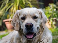 Barney (With his new nikon d7200) Tags: dogs golden retriever play green water food sit down nikon d7200 50mm 18g faversham kent england goodboy portrait flickr dog sky garden barney