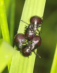 Spiked Shieldbugs - Picromerus bidens (Prank F) Tags: macro nature closeup bug insect early wildlife nymph spiked shieldbug wildlifetrust instar picromerusbidens twywellhillsdales northantsuk