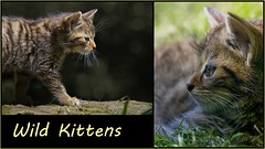 Wild Kittens (FocusPocus Photography) Tags: animal collage cat kitten feline wildlife katze wildcat tier tripsdrill felissilvestris jungtier wildparadies wildkatze wildtier