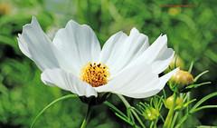 Flower (rumerbob) Tags: flower floral flowerphoto whiteflower botany longwoodgardens canon7dmarkii canon100mmmacrolens