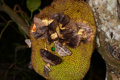 Jackfruit Party 1 (Bob Hawley) Tags: asia taiwan kaohsiung meilunshan nikond7100 tokina100f28 nature wildlife creatures animals nocturnal invertebrates jackfruit moths feeding