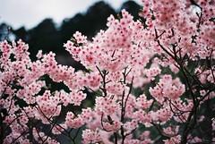 Sakura_2016 (oceanus2007 (***busy***)) Tags: film zeiss 50mm fuji iso400 f14 contax shikoku pro aria planar 400h ariad