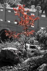 Acer palmatum (Thad Zajdowicz) Tags: acerpalmatum japanesemaple chinesegarden tree plant flora leaves foliage nature selectivecolor red blackandwhite black white bw fineart zajdowicz sanmarino california canon eos 5dmarkiii dslr digital outdoor outside availablelight daylight huntingtonbotanicalgardens lightroom