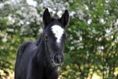 Black beard (PhotoCet) Tags: photocet horse horses hestur pferd cheval caballo cavallo cob gypsypony gypsycob foal black beard