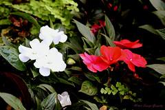 IMG_9887 (nelson_tamayo59) Tags: flores jardin canarias tenerife