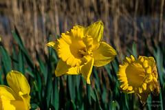 ND5_0809_Lr-edit (Alex-de-Haas) Tags: nederland noordholland sintmaartensbrug thenetherlands bloem bloemen buiten buitenshuis daffodil daffodils flower flowers lente narcis narcissen narcissus outdoors spring sunny zonnig