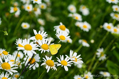 Orange Sulphur (Colias eurytheme) Amongst the Daisies (Megan E. McCarty) Tags: butterfly insect lepidoptera sulphur orangesulphur pieridae colias coliaseurytheme daisy daisies flower flowers flora fauna nature plant plants canon canonrebelxt canoneosdigitalrebelxt
