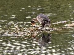 Great Crested Grebe With Egg (kazmorris) Tags: nature water birds nest egg grebe pennington