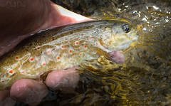 Trucha del Barbellido (vila) (eRdAvE) Tags: flyfishing trout trucha barbellido