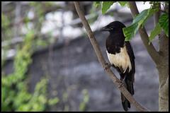 Resting Magpie (hej_pk / Philip) Tags: bird nikon sony magpie kwangju gwangju skata fgel sydkorea nikcolorefex nikonseriese75150mmf35 sonya5000 e75150mm