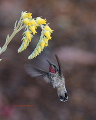 Hummer and succulent blossom (Victoria Morrow) Tags: