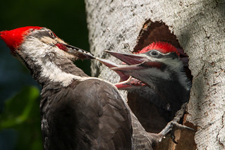 Pileated Woodpecker Chicks having some Grub
