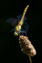 L'quilibriste (regisfiacre) Tags: libellule dragonfly macro insect insecte bugs nature woods bois fort sympetrum sanguin sanguineum equilibre