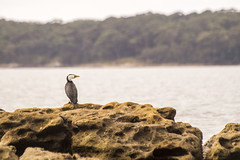 Jervis Bay (cheekeemonkeez) Tags: bird beach bay a58 sony jervis