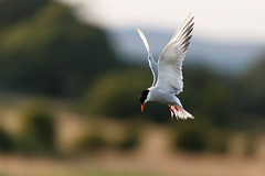 Searching (Unintended_Keith) Tags: commontern hovering birdinflight bird white wildlife canon1dx naturereserve sigma150600mms nature paghamharbour westsussex