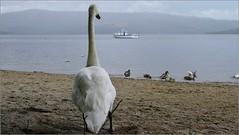 Luss Loch Lomond (Ben.Allison36) Tags: luss loch lomond scotland swan