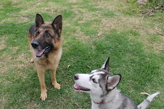 Mini me (AnnRodriguezR) Tags: dog happiness freedom love german sheperd siberian husky puppy sweet grass smiles