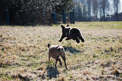DSC_0009 (juliapee) Tags: dogs spring borderterrier dogsplaying lagotto romangolo
