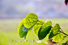 Leaves .. ( Nana) Tags: life light plant green love beautiful leaves backlight nikon colorful natural bokeh taiwan lovely  simple taiwan  i bokehlicious  d7000
