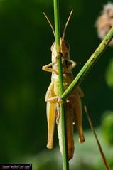 Pezotettix giornae (frillicca) Tags: 2009 acrididae agosto macrofotografia natura pezotettixgiornae orthoptera ortottero insect cricket august macro grasshopper cavalletta nature piccolapodismadirossi grillo podismapiccola